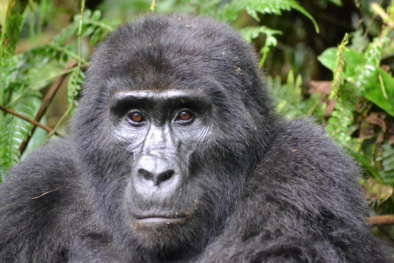 Gorilla-in-Bwindi-Forest