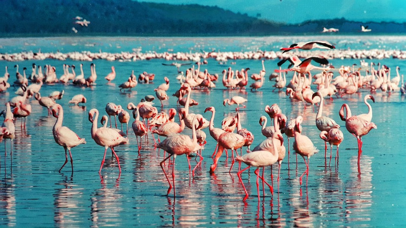 Pink-flamingo-in-Lake-Nakuru