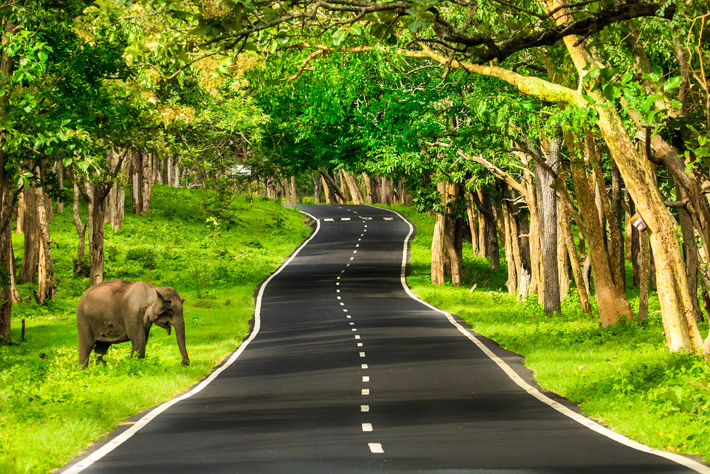 Bandipur Forest Road. Elephant crossing